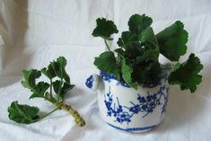 How to propagate geraniums - tutorial