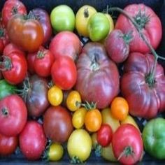 Most gardeners grow at least one variety of tomatoes and there as many reasons for this as the people that grow them. However there are certain...