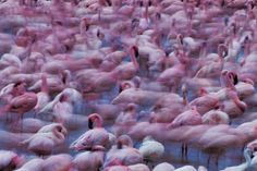 Breathtaking Shots of Millions of Flamingos - My Modern Metropolis
