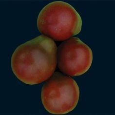 Japanese Black Trifele Tomato from Baker Creek Seeds (started 24 Jan 2013)