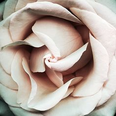 #pastel #rose #closeup