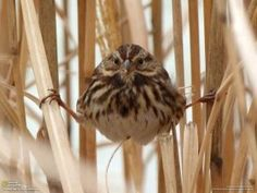 A song sparrow hides in grasses until a Coopers hawk leaves the area http://media-cache7.pinterest.com/upload/130745195402164182_kOeLqCzv_f.jpg http://bit.ly/HsZD6k pattiedeitrick animals domestic and wild