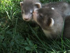 Two young ferrets