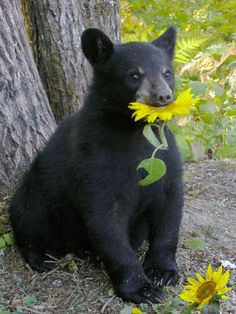 Lucky with sunflower - at the North American Bear Center in the Northwoods. Eli, MN ♥