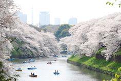 Cherry blossom, Ueno park, Tokyo.