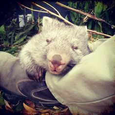Bob has had a busy time at Healesville Sanctuary, meeting visitors and spending time in his new play area.