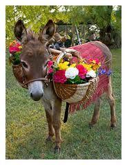 Miniature Donkeys, Old Glory Ranch Wimberley Texas