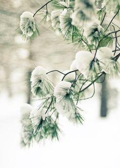 Snowy Branch.