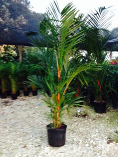 Rare Island Tropical Foliage Homestead Florida  - Lipstick Palm 7g Wholesale Cyrtostachys renda Palms #PalmTrees #WholesalePlants RealPalmTrees.com (Call us at 1-888-778-247Six) wholesale rarepalms realpalmtrees.com