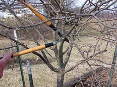 Using Limb Loppers to remove a low hanging branch