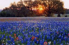 Texas Bluebonnets and Oak Trees.  Beautiful!