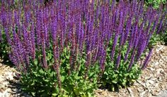 THUMBS UP! Salvia East Friesland. I planted this in the summer of 2013 and it has come back. Very deep purple color and is very showy.