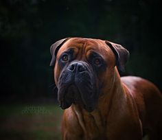 ♥ I believe this would be the Bull Mastiff. ~~~