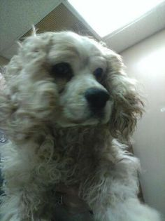 #WVIRGINIA #GassingShelter ~ Grace ID 2582 is a #senior Cocker Spaniel who's UTD vaccines & tagged #SpecialNeeds by the shelter [[ 1 of the 73 pets  listed on petfinder today 1-22-14 ]] & is in need of a loving #adopter / #rescue at HUMANE SOCIETY of RALEIGH COUNTY 325 Gray Flats Rd #Beckley WV 25802 rcpets@hotmail.com P 304-253-8921