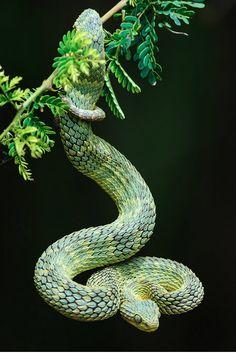 Palm viper