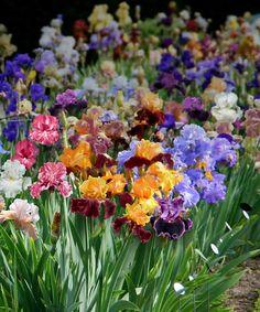 German Iris Collection - Set of Eight