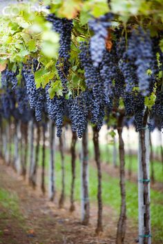 "Grapes ripening on the vine: Autumn,, and the harvest, called ""la vendange"" in France, are on the way. Marked by festivals and fairs, it is a wonderful season to visit one of the wine regions of France. So many to choose from!"
