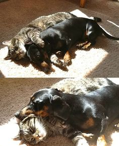 cat and dachshund cuddling together in the sun…