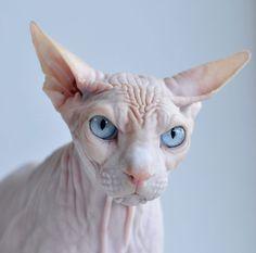 sphynx, animals, pets, hairless cats, fur, kitty, blues, grumpy cats, eyes