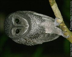 Lesser Sooty Owl.