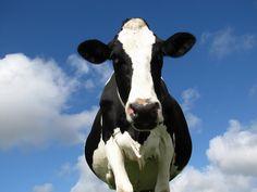 dairi wwwmackenzieimagecom, anim legal, ditch, bovin beauti, beauti nutrit, cow tao, websit inspir, beauty, nutrit 101