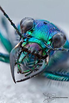 Tiger beetle head