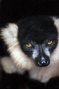 Lemur by Andrew Pescod