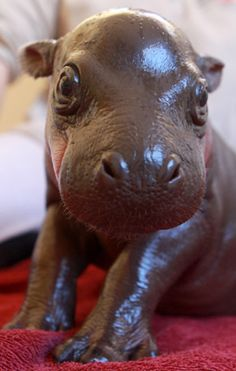 Current (obvious) Obsession: Baby Hippos.