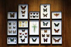 DEYROLLE - Butterflies.