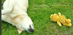 YELLOW LABRADOR Greeting Card  Napping Lab by overthefenceart