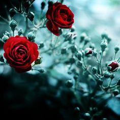 Tara's roses in The Selkie Spell.