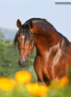 Blood bay Arabian horse - Equine Photography by Ekaterina Druz