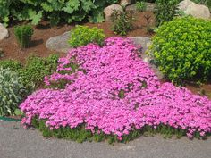 Phlox subulata, Pink - A long lived, cold-climate perennial, it is perfectly suitable for rock gardens, rugged ground cover, and sunny drought conditions. Cascading over slopes like puddly waterfalls, it grows 2 to 6 inches tall, spreads 12 to 18 inches in width. The early spring pink flowers that illuminate the flowerbed are intense. After the short-lived blooms fade, the rugged, evergreen, pinnate-textured foliage serves as an elegant-looking yet rugged groundcover.