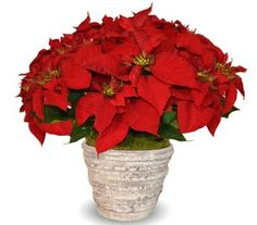 Gorgeous Christmas poinsettias have arrived at Dr Delphinium (formerly Gunter's)