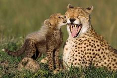 Don't Eat Me, Don't Wear Me: Cheetah & Cub