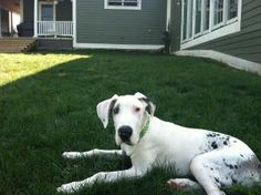 look at this PEANUT! He is a 6 month old, blind and deaf Great Dane up for adoption...not that I was looking...