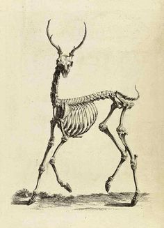 Skeleton of a Buck.