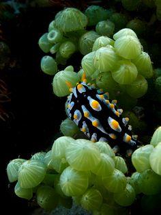#seaslugs #nudibranch