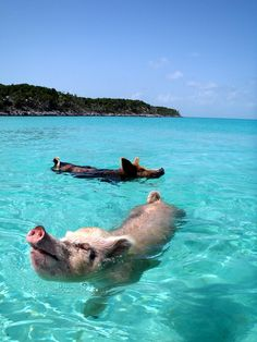 Vorobek Bahamas - swimming pigs by cdorobek, via Flickr