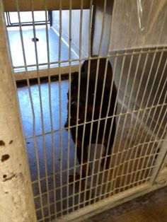 EMERGENCY!! ROTTIE W DEFORMED PAW AT HIGH KILL LANCASTER SHELTER!! THEY ARE KILLING THE BIG DOGS!!!!!!!!!  A4044291 	 Impound Date: 6/21/2013 Sex Male Primary Breed: ROTTWEILER Age: 1 Years and 10 Months Location: Lancaster	 Cage No.: L109 http://animalcare.lacounty.gov/AdoptDetails.asp?AnimalID=A4044291
