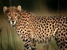 African cheetah.