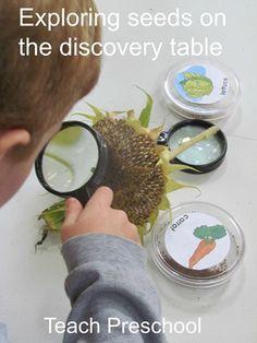 Exploring the seeds of fall in preschool
