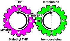 The Methylation Pathway