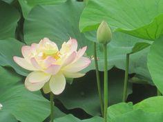 Lotus flower from a garden near Wickford, RI