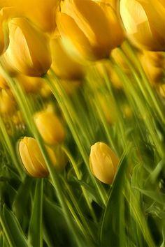 ❦ Yellow Bliss