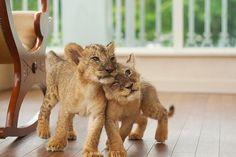 little lion cubs. meow.