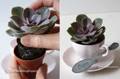plant, party favors, tea cup favours, gift, wedding favors, place cards, shower favors, succulents in tea cups, parti