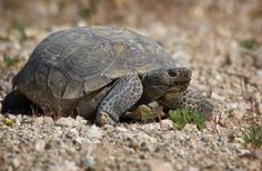 Desert in California, tortoises are endemic to the western part of North America