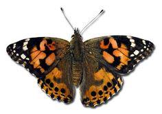 Butterfly raising kits