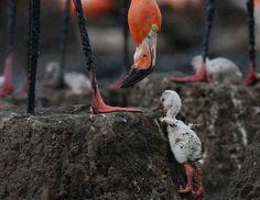 Flamingo & chick